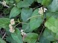 Nghiên cứu sản xuất chế phẩm kháng virus Herpes HSV từ cây Thồm lồm Polygonum chinense L.